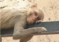 Monkey menace: MCD finds a human solution