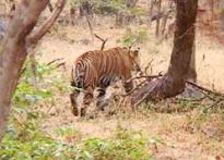 Ring in the New Year with a roar, Ranthambore style