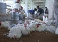 2 more districts catch bird flu, WB govt 'in control'