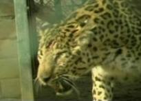 Shoot-at-sight orders for man eater leopard
