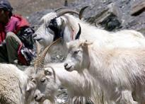Pashmina goats face death in icy Himalayas