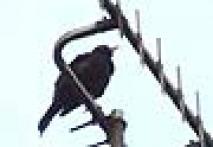 Nature's call: A blackbird that mimics ring tones