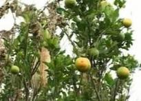 Drought affects orange crop in Nagpur