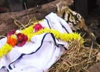 Baby tiger underwent blood transfusion, died