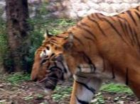 Man-eating tiger on prowl wanted live, not dead