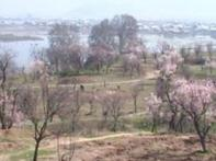 Spring is here: Kashmir's almond park attracts tourists