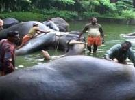 Time for rejunevation therapy for Kerala elephants