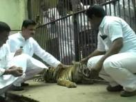 Minister walks into tiger's cage, activists erupt in rage