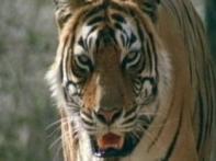 Tiger inbreeding, the new worry in Sariska