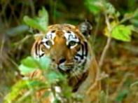 Tigress found dead in Jim Corbett Park