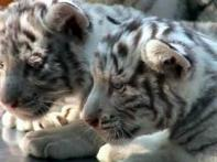 Rare albino tiger cubs born in Chile zoo