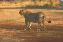 Gir lion census may see numbers grow