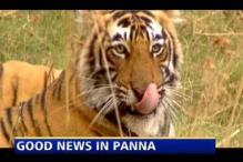 Panna gets a big boost, 3 tiger cubs born