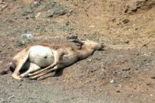 Heat kills Chinkaras in Rajasthan