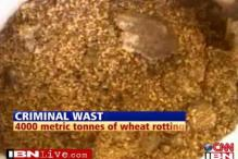 Criminal waste: wheat rots in Maharashtra