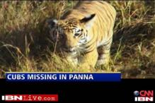 Tiger cubs go missing in Panna, MP