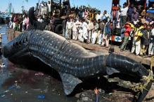 Pak fishermen catch giant 7000 kg whale shark