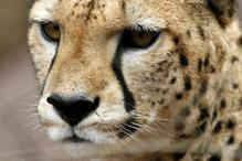 SC stops project to bring back cheetahs to India