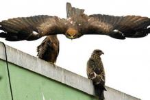 Bangalore: Kites die feeding on city's fatal menu