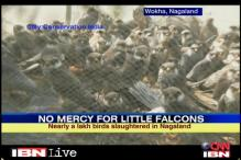 Thousands of Amur falcon birds poached in Nagaland