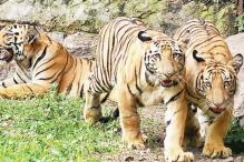 'Tiger population in India has increased significantly'