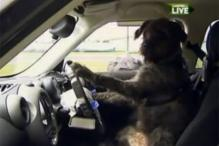 Meet Monty, a dog who can be your designated driver