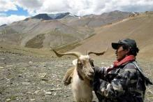 J&K: Pashmina goats perishing in heavy snow