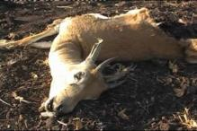 Four black bucks killed in MP forest