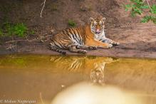 MP awaits NTCA guidelines on rearing of orphaned tiger cubs