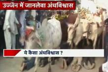Ujjain: People follow a bizarre ritual, let bulls run over them