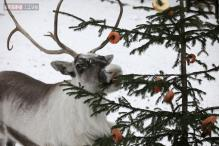 Happy Holidays: Things you didn't know about reindeer