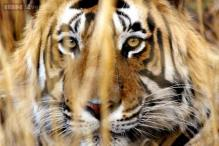 Man-eater tiger caught, villagers near Bandipura national park relieved
