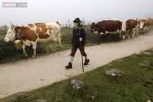 Flatulent cows start fire at German dairy farm police