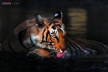 Guddu, India's longest surviving tiger dies at 26 at Kanpur Zoo