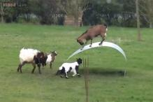 Watching these goats balance themselves on a flexible steel ribbon will make your day