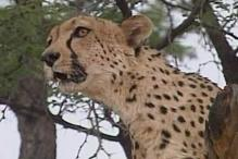MP tells Centre to foot Rs 260 crore bill to import Cheetas from Africa
