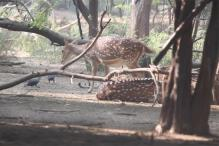 Speeding truck mows down two spotted deer on Balaghat-Seoni road