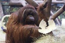 Bad news for Broncos fans, Utah ape predicts Seahawks will win Super Bowl. He's not been wrong in 6 years