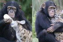Cute alert! Photo of a chimp bottle feeding a leopard cub and later hugging it just brought the Internet to a standstill