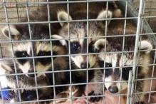 Five baby raccoons land outside Westchester County Health Dept in a surprise delivery!