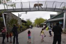 Tigers will now catwalk at the new Big Cat Crossing in Philadelphia Zoo