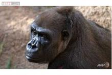 Spanish zoo vet shoots keeper in gorilla escape drill