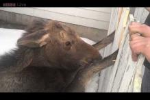 Moose jumps through the window to disrupt a handicraft class in Sweden