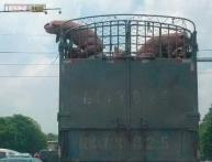 Photos: Viral pictures of a brave pig that jumped off a moving truck to escape being chopped at the slaughterhouse!