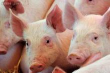 Police arrests two men in Uganda who dropped piglets in parliament in a protest against corruption
