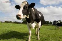 Police kill an agitated cow that tossed an officer in the air and tap-danced on a patrol car