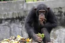 Chimpanzees say 'follow me' through their hand gestures! Researchers translate Chimpanzee sign language