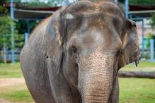 Pregnant Asian elephant that was a part of the much publicised weight loss program has miscarried in Houston Zoo