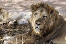 Gujarat: 13 'unnatural' lion deaths within a year