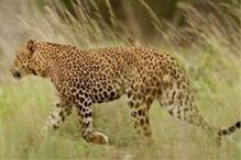 After four days, leopard leaves IIT Bombay